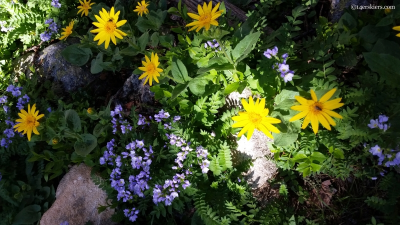 alpine flowers on colorado trail