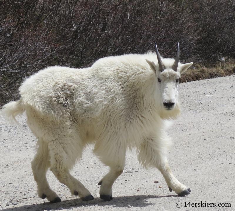 Mountain goat near Quandary Peak.