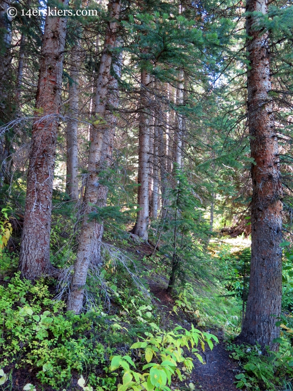 forest near Crested Butte