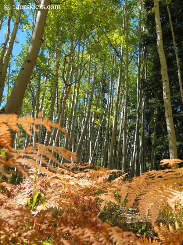 aspen forest near Crested Butte