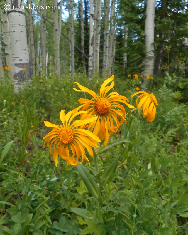 Sneezeweed wildflowers near Crested Butte