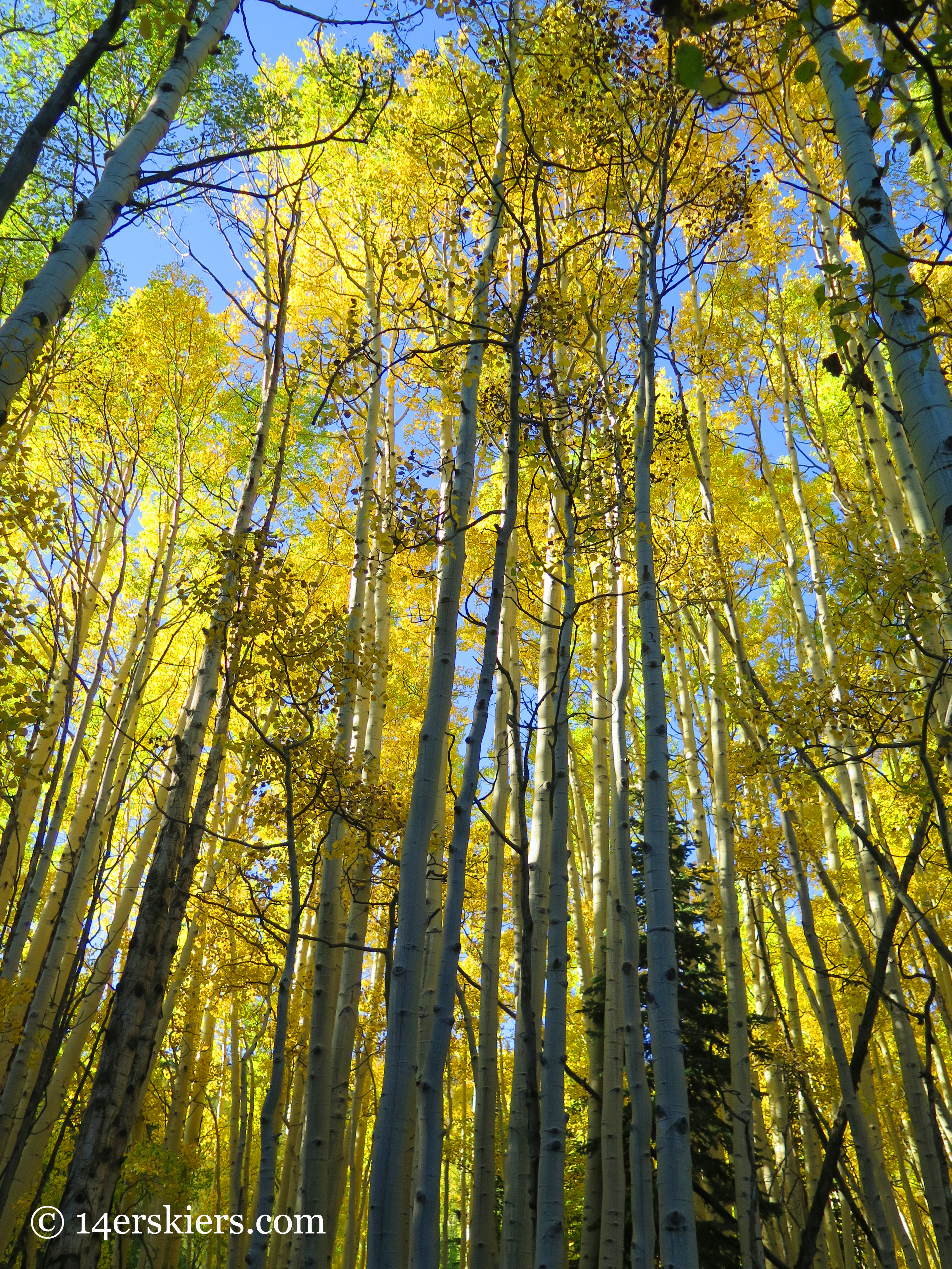 tall trees while fall hiking on Carbon Creek near Crested Butte