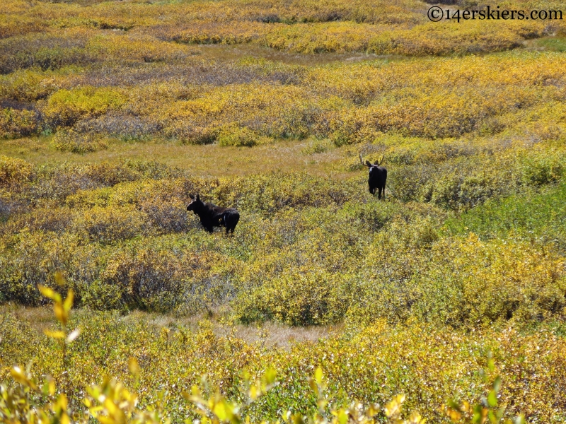 moose in the san juans colorado