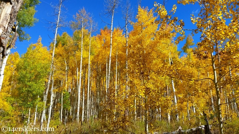 Aspens on the Dyke Trail near Crested Butte in the fall.