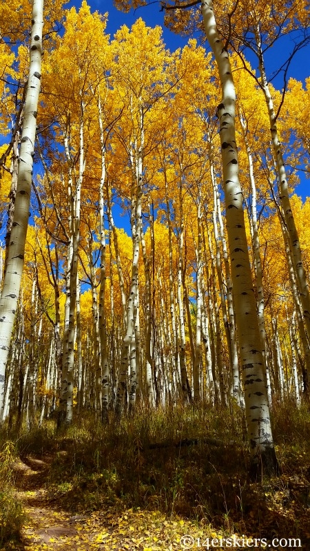 Aspens on the Dyke Trail in Crested Butte