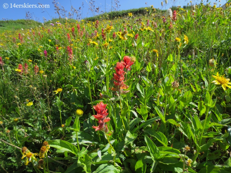 Wildflowers near East Maroon Pass