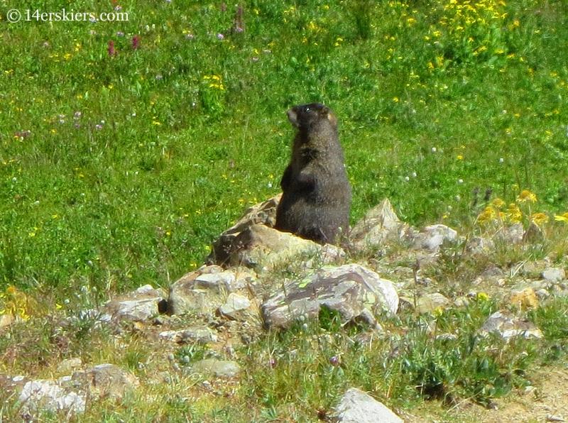 Marmot near East Maroon Pass.