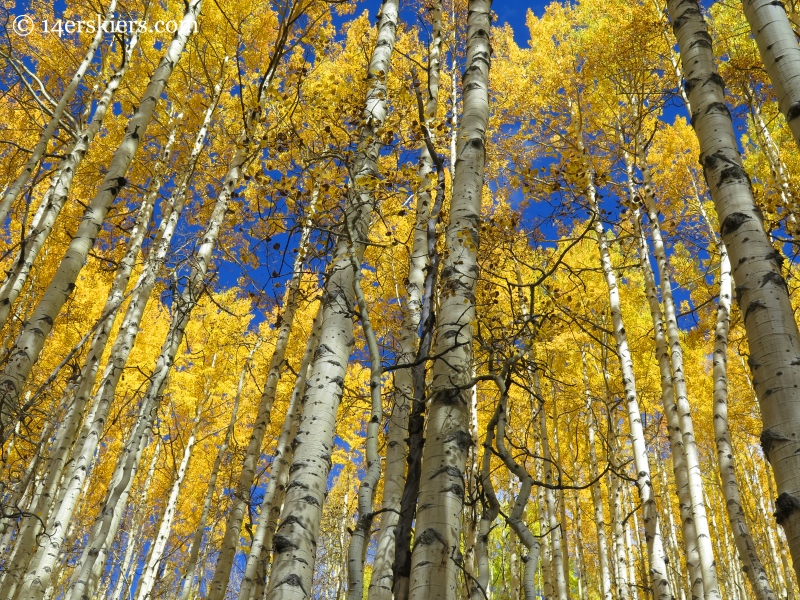 golden aspens in the fall in Crested Butte