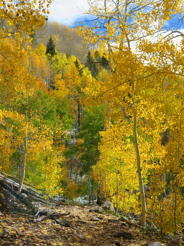 aspens in the fall near Crested Butte