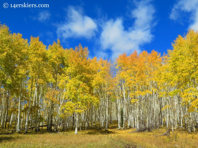 aspens in fall near Crested Butte