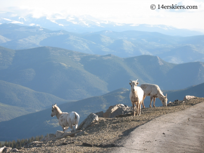 Mountain Goats on Mount Evans