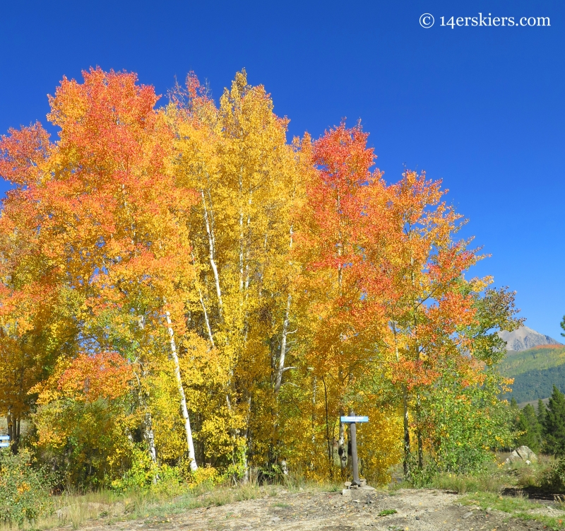 Fall aspen tree bunch near Crested Butte