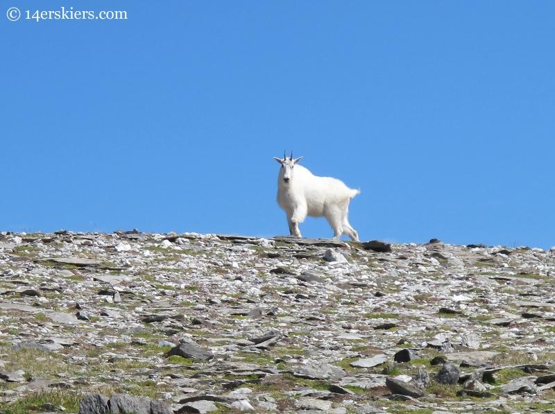mountain goat in fossil ridge wilderness