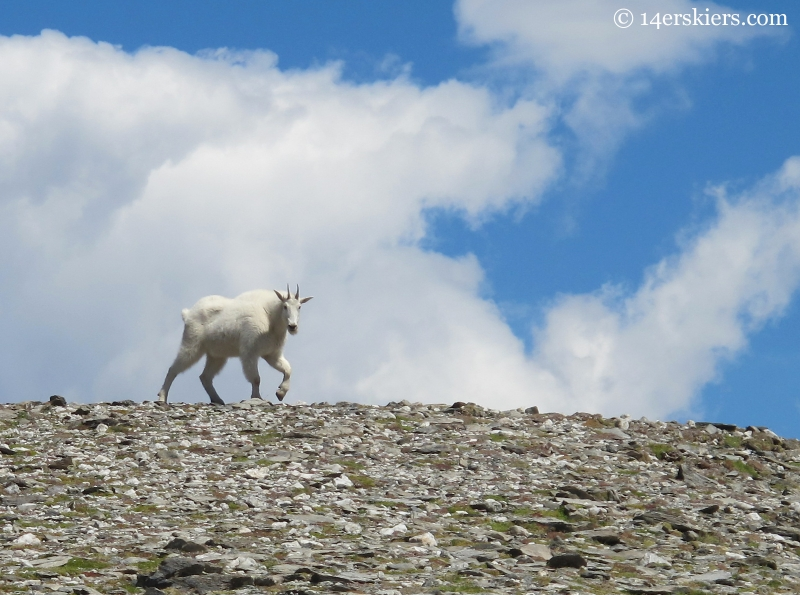 Mountain Goat in the Fossil Ridge Wilderness