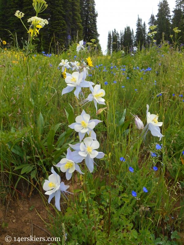 Columbine near Crested Butte, CO
