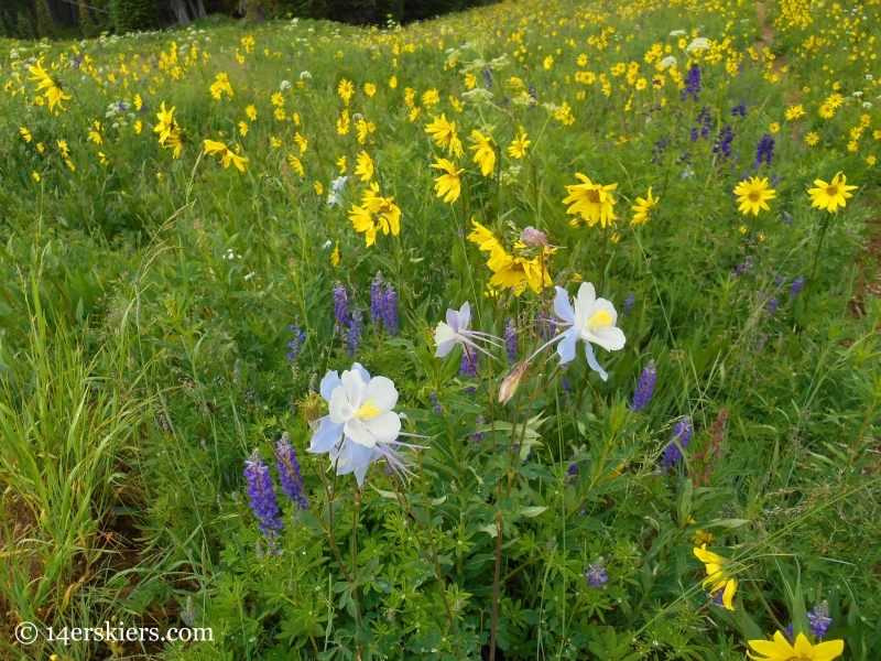 Aspen sunflowers and columbine near Crested Butte, CO