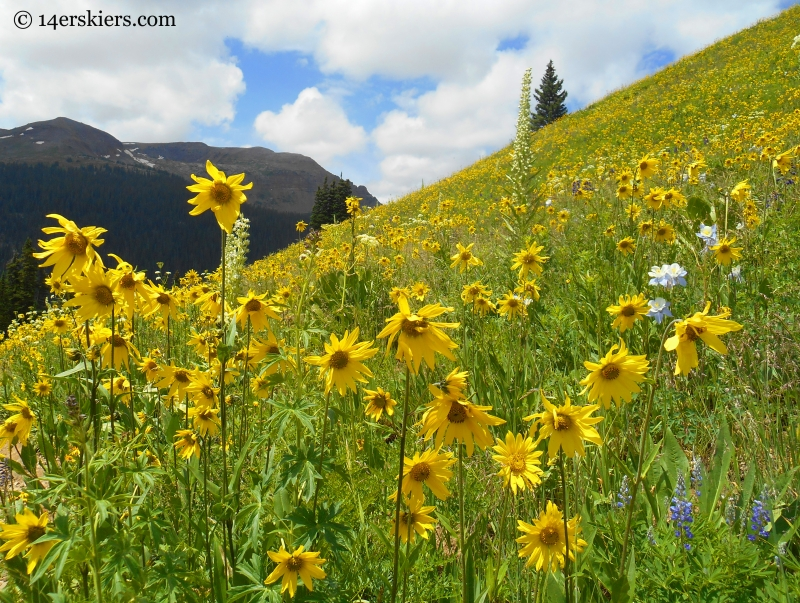 Aspen sunflowers on the Hasley Pass Hike