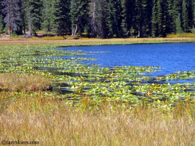 lilies in Lily Lake near Crested Butte