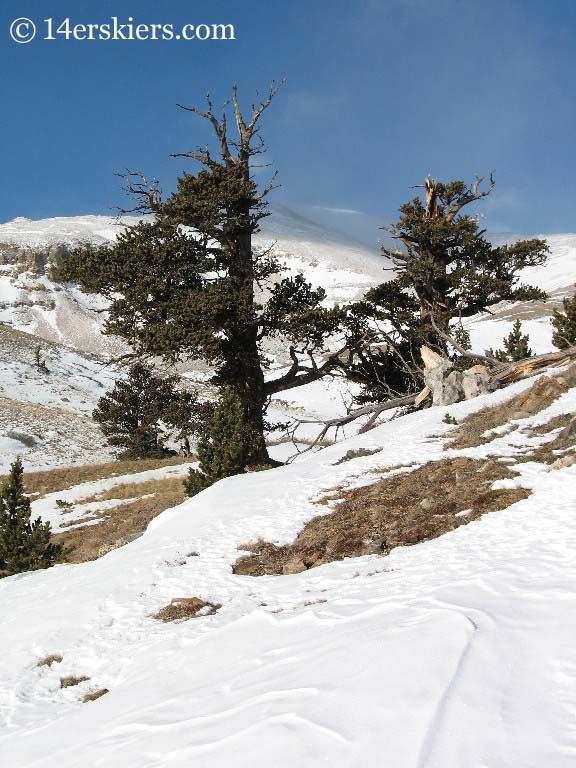 trees on Mount Bross