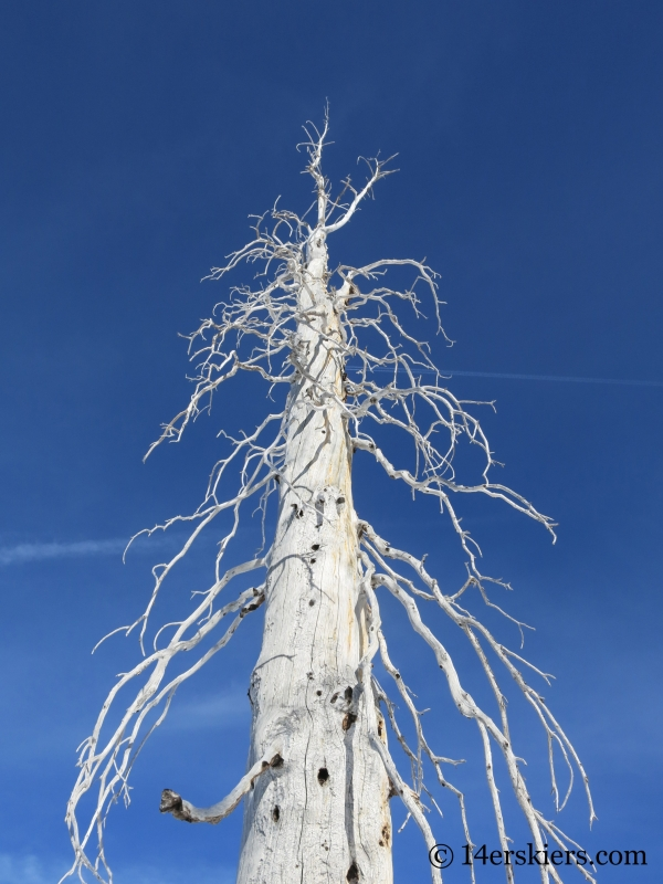 Skeleton tree on Little Agnes Mountain.