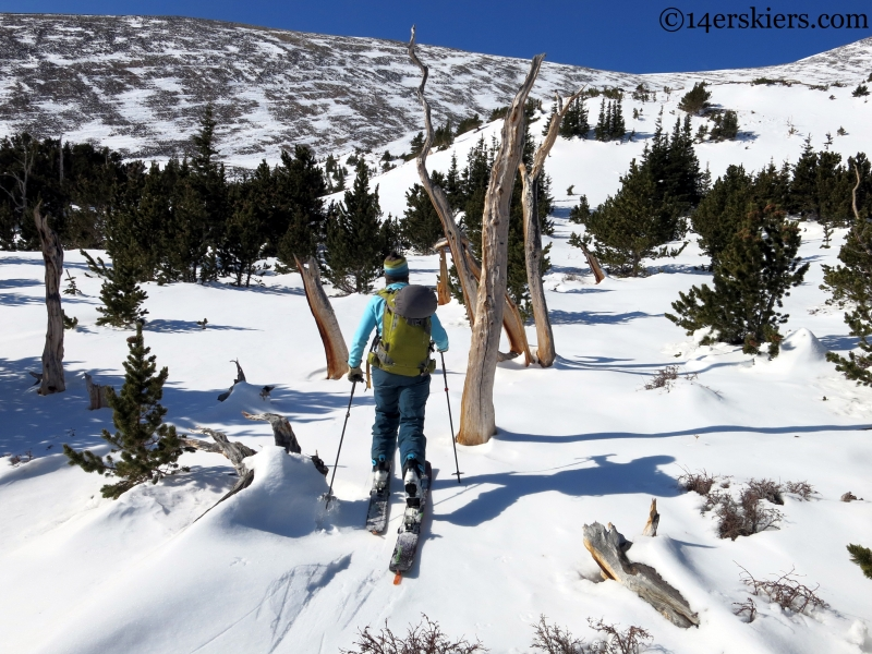 Skiing through Bristlecone Pines
