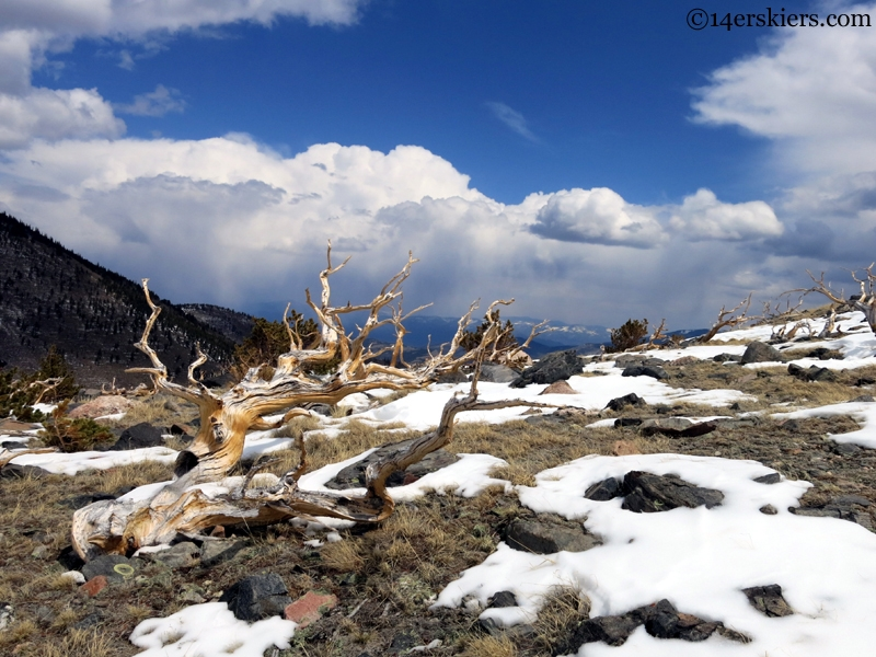 Colorado Bristlecone Pines