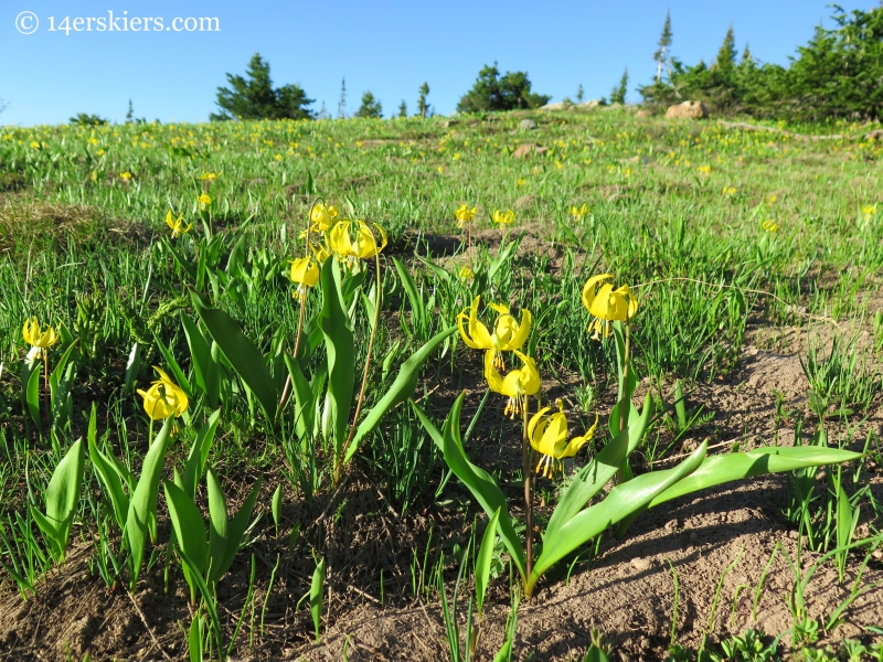 Glacier Lilies near Crested Butte