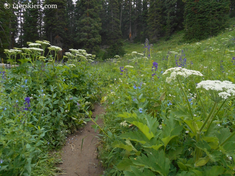 wildflowers on trail 401 near Crested Butte
