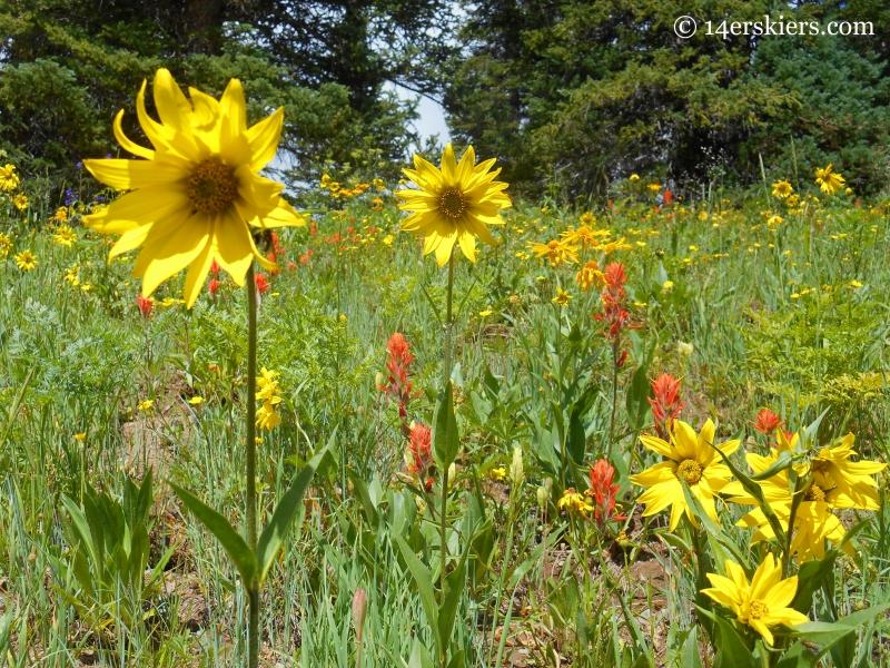 Sunflowers on Schofield Pass Loop