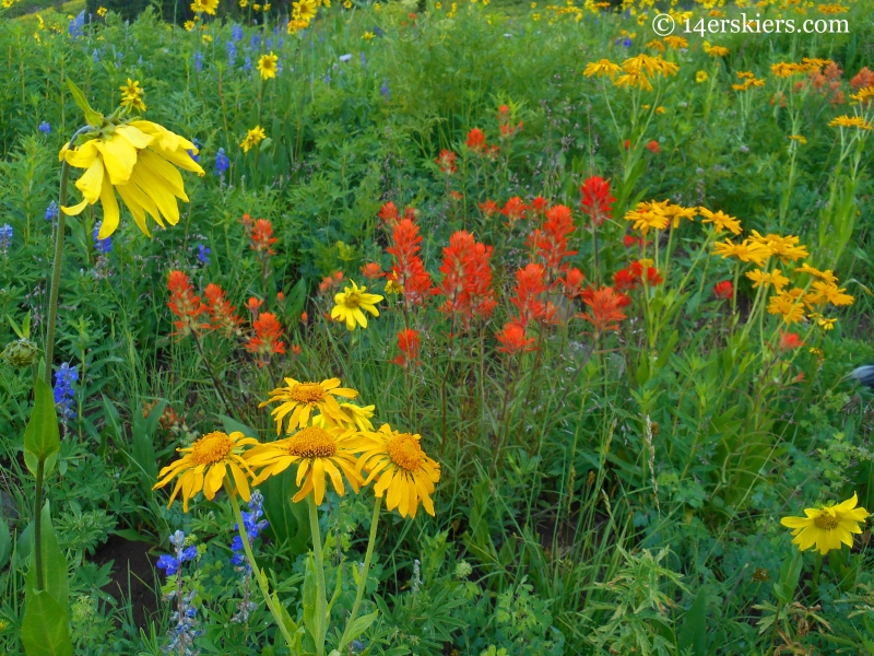 Wildflowers on West Maroon trail