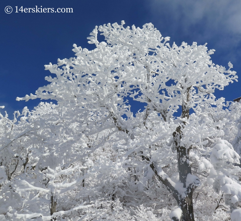 Frosty trees at YongPyong ski resort in South Korea.