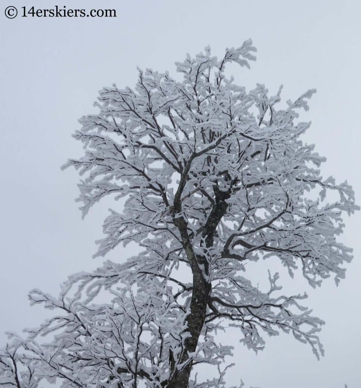 trees with snow at YongPyong ski area in South Korea.