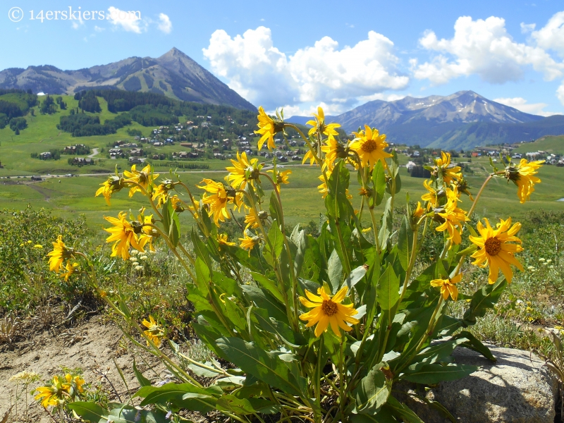 Crested Butte mule's ears.