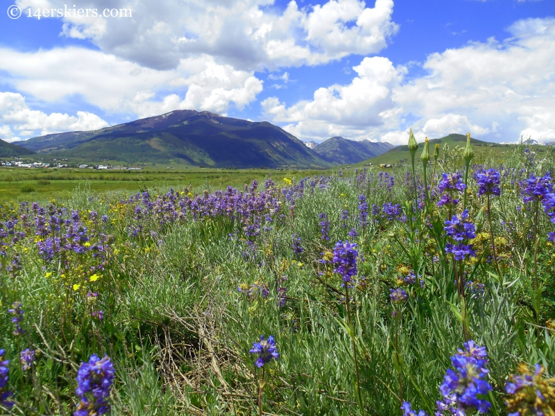 Penstemon wildflowers near Crested Butte
