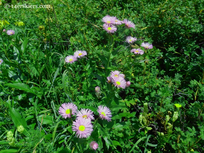 fleabane on Triple Bipass Loope