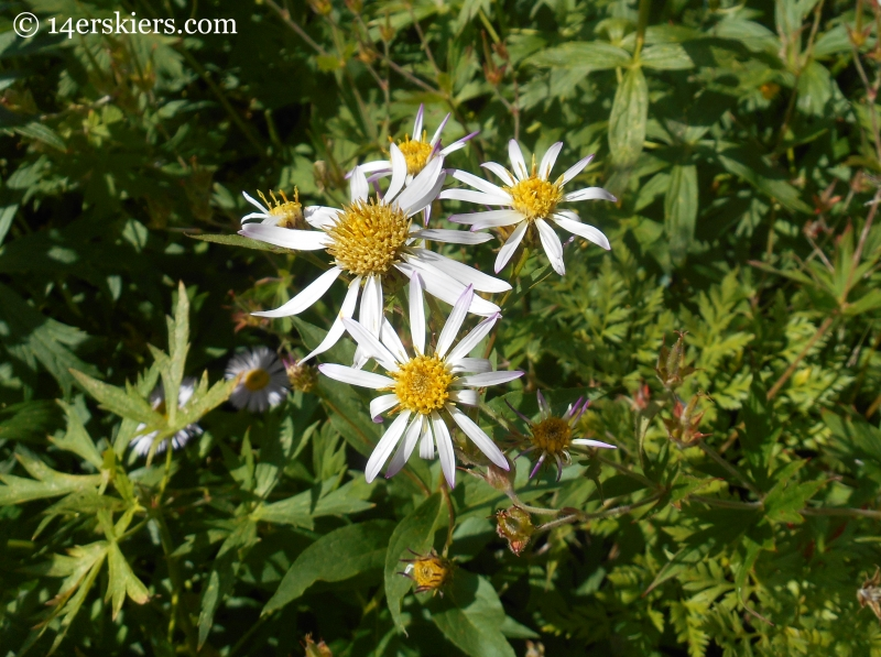Asters on the Triple Bipass Loop