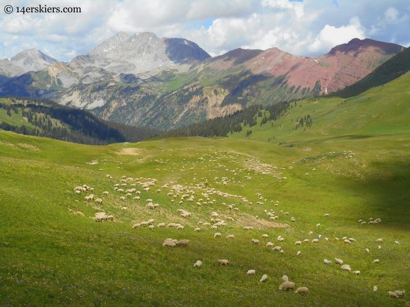 Sheep with Snowmass behind