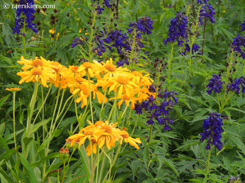sneezeweed and larkspur near Frigid Air Pass