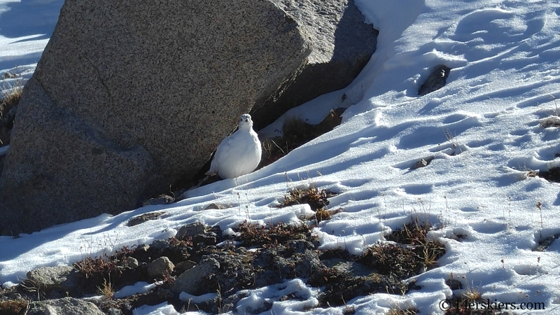 Ptarmigan on top of Canyon Creek Trail near Whitepine.