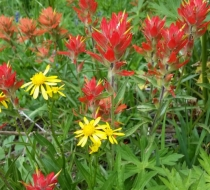 Scarlet Paintbrush