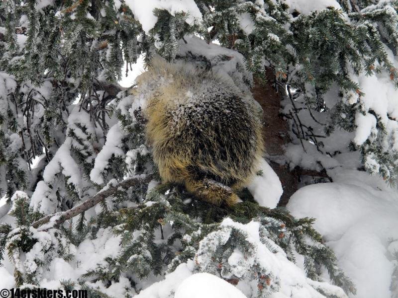 porcupine in tree in crested butte