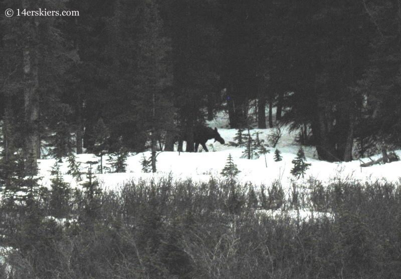 251 moose copy