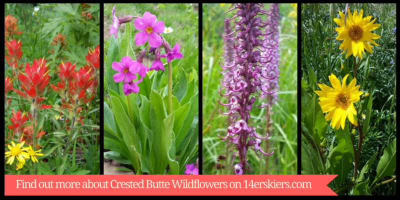 Guide to Crested Butte Wildflowers